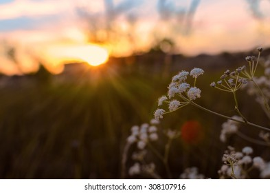 Sunset. The flower on the background of the setting sun. Russia, Voronezh. 13 August 2015.