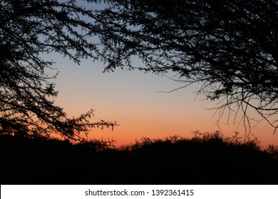 sunset in the forest behind thorn trees