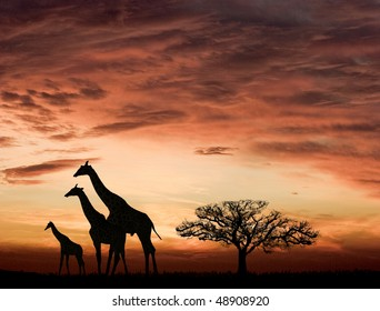 Sunset and the giraffes in Africa