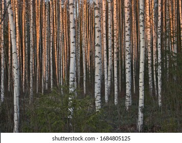 Sunset goldens birch trunks in forest,