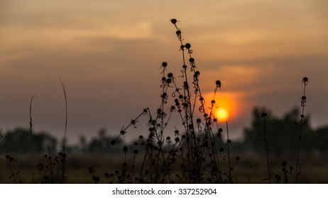 sunset with grass flower.