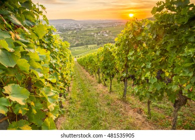 Sunset in a green rural German vineyard with gape vines
