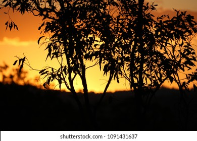 Sunset and gum trees