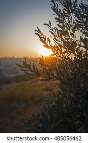 Sunset in Jerusalem. View from the top of The Mount of Olives. Olive tree on the foreground. (Jerusalem, Israel)