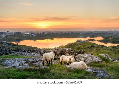 Sunset at a lake with sheep near Clifden, Roundstone and Connemara in Ireland
