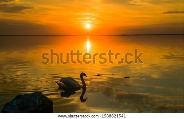 Sunset lake swan silhouette view. Sunset swan lake water. Sunset swan scene. Swan sunset lake water landscape