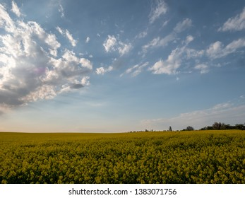 Sunset landscape. Sunset over the rapeseed field. Beautiful landscape of bright yellow rapeseed in spring. Yellow flowers of rapeseed.