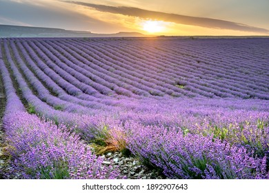 Sunset landscape with purple lavender field with long rows.