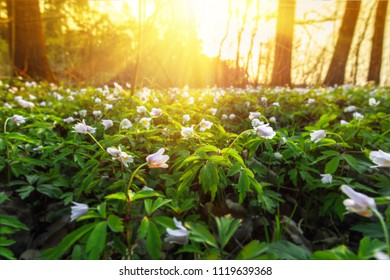 Sunset landscape in spring forest full of snowdrop flowers.