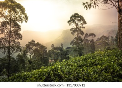 Sunset landscape at tea plantation hill field fog trees terrace in Asian Sri Lanka Nuwara Eliya surroundings