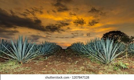 Sunset landscape of a tequila plantation, Guadalajara, Mexico.