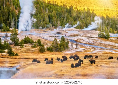 A sunset landscape at the Upper Geyser Basin in Yellowstone National Park, where steam rises from geyser vents and hot springs near a forest of lodgepole pine trees, and a herd of bison is grazing.