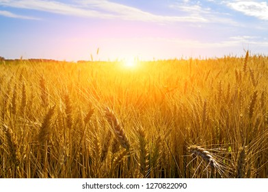 Sunset Landscape with wheat field and clouds