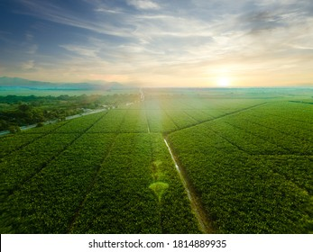 Sunset in a large fields of banana trees