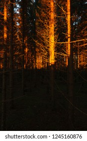 Sunset light at coniferous forest