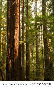 Sunset light on a tall old growth redwood tree in California