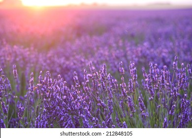 sunset lights on lavender farm