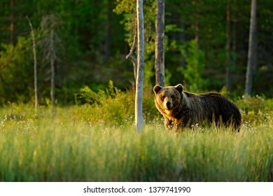 Sunset, morning light with big brown bear walking around lake in the morning light. Dangerous animal in nature forest and meadow habitat. Wildlife scene from Finland near Russian border. - Shutterstock ID 1379741990