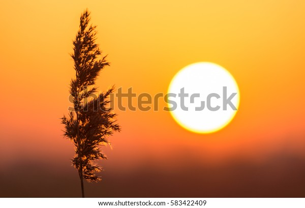 Sunset in nature with a silhouette of a wild grass in focus.
