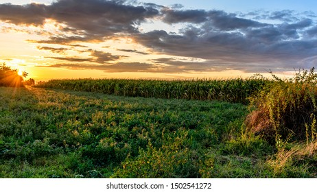 At sunset near the corn field and amazing golden light from the setting sun.