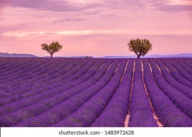 Sunset on the field with pink purple lavender in the summer with a cloudy sky. Landscape as wonderful scenery concept. Peaceful nature, twilight sky, dusk. Majestic nature