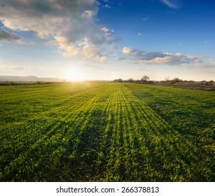 Sunset on green field