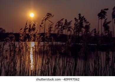 Sunset on the lake. Cane illuminated by the setting sun
