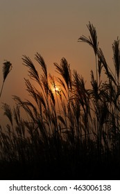Sunset on Pampas Grass