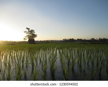 Sunset on the rice field