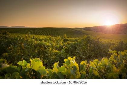 Sunset on vineyard