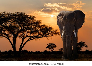 sunset over acacia tree and African elephant. Africa safari wildlife and wilderness. Beautiful nature african scene