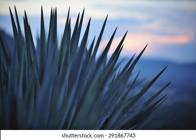Sunset over Agave field for Tequila production, Jalisco, Mexico