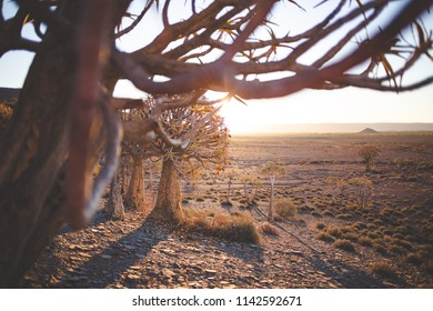 Sunset over the age old quiver tree forest in Nieuwoudtville in the Northern Cape of south africa