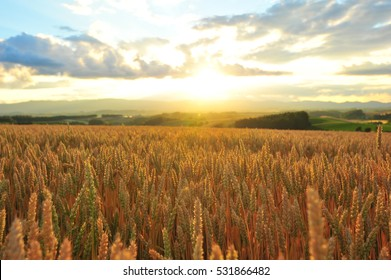 Sunset Over The Barley Field in Summer