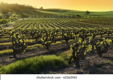 Sunset over a Barossa Valley vineyard, in the spring season. South Australia