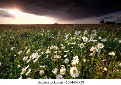 sunset over beautiful chamomile flowers field