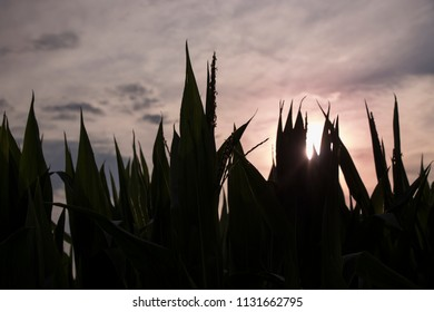 Sunset over a big corn field in summer