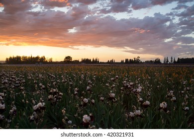 Sunset over blooming irises field