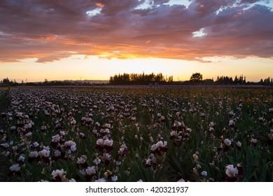 Sunset over blooming irises field