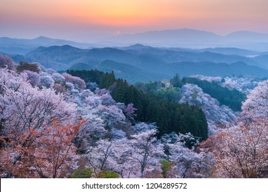 Sunset over cherry trees forest in blossom at Yoshino, Nara province, Japan