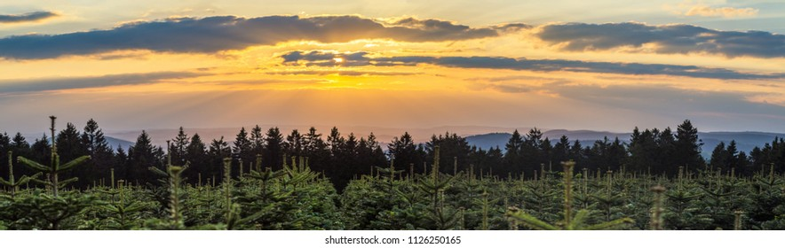 Sunset over Christmas tree plantation and spruce forest in the middle of Germany in a low mountain rage called Rothaargebirge, panorama