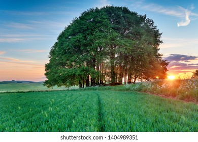Sunset over a clump of Beech Trees growing on Tumuli in fields on the Ridgeway long distance walking route at West Kennet near Avebury in the Wiltshire countryside