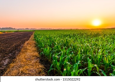 Sunset over the corn fields in the agricultural area.