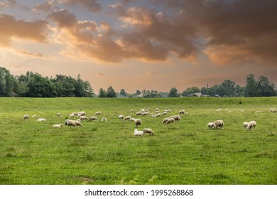 Sunset over Dutch ascended green polder landscape between Ter Aar and Alphen aan den Rijn with grazing sheep against background with trees and church spire in warm orange coloring sky