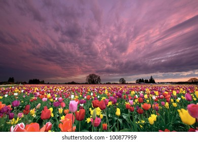 Sunset Over Farm Field of Tulip Flowers Blooming in Oregon in Springtime