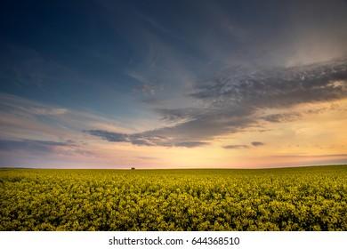 Sunset over the field of flowering rape.