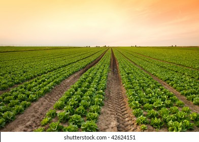sunset over a field of lettuce