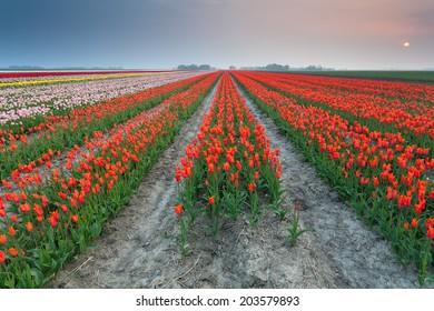 sunset over field of orange tulips, Holland