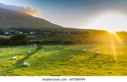 Sunset over a field of sheep, in the west of Ireland.