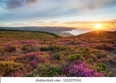 Sunset over heather in bloom on the slopes of Bossington Hill above Minehead in Somerset and looking out to Bossington and Porlock